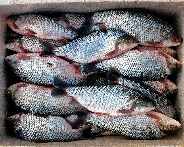 Peixe fresco***